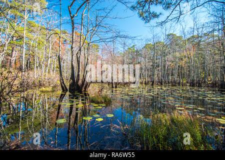 Marais côtiers avec étang de nénuphars à Virginia States Park Système avec reflet de ciel bleu ensoleillé Banque D'Images