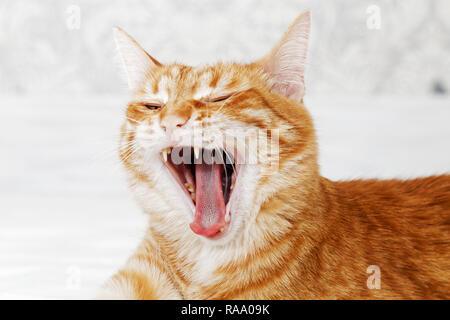 Closeup portrait de bâillements ginger cat sur la lumière arrière-plan flou. L'accent peu profondes. Banque D'Images