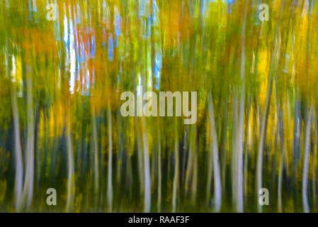 Impression de tremble Arbres et feuillage de l'automne. Banque D'Images