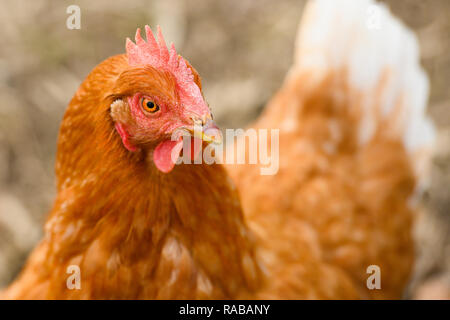 Gros plan de la tête d'une poule brune alors que le pâturage dans une campagne. Banque D'Images