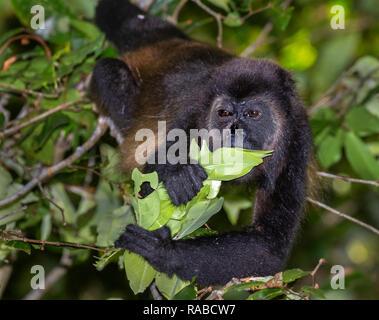 Manteau singe hurleur (Alouatta palliata) manger les jeunes feuilles des arbres dans la canopée des forêts tropicales, Puntarenas, Costa Rica Banque D'Images