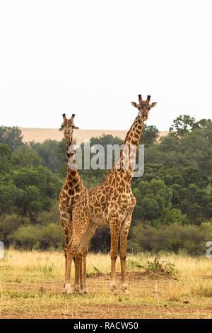 Deux girafes. De savane le Masai Mara, Kenya Banque D'Images
