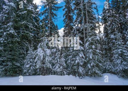 Les arbres avec de la neige après la tempête Banque D'Images