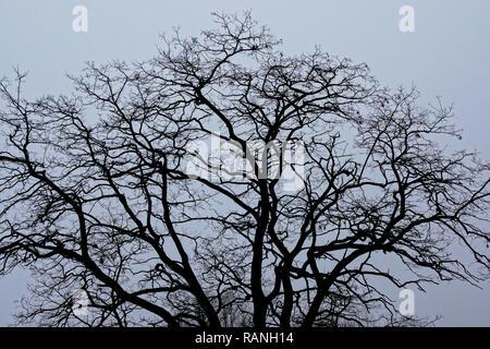 Branches irrégulières d'hiver arbre nu crest en silhouette contre un ciel couvert Banque D'Images
