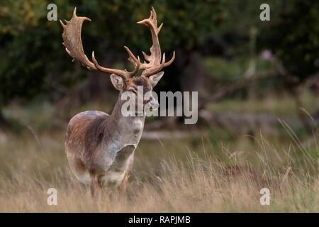 Le daim, buck, debout à la recherche à la caméra, Jaegersbors, dyrehaven Danemark