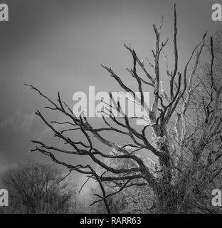 Un arbre mort contre un ciel d'orage en noir et blanc Banque D'Images