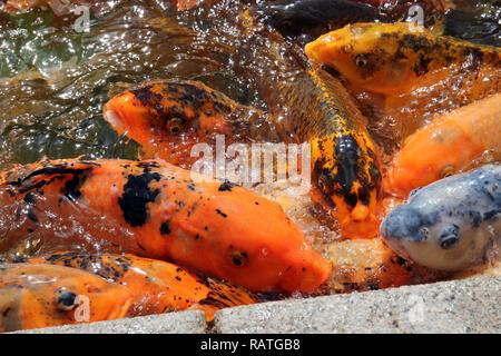 Un plan macro sur une masse grouillante de poisson koi en attente d'être des animaux. Banque D'Images