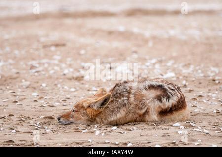 Le chacal à dos noir, Canis mesomelas, sur la plage, Walvis Bay, en Namibie Banque D'Images