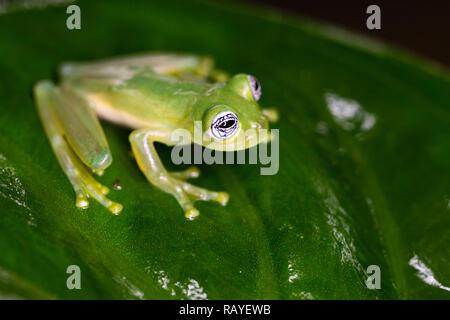 Verre fantôme grenouille dans la forêt tropicale du Costa Rica Banque D'Images
