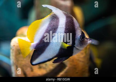 Belle et colorée Toxote des poissons dans un aquarium. Banque D'Images
