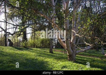 Un grand bouleau verruqueux arbre dans une forêt Anglaise, moulage de grandes ombres que le soleil commence à définir sur une soirée d'avril Banque D'Images