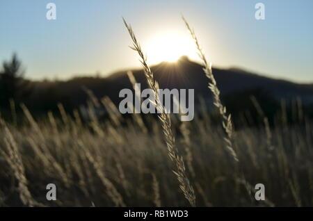 Les herbes d'été à coucher de soleil rougeoyant sur butte. Banque D'Images
