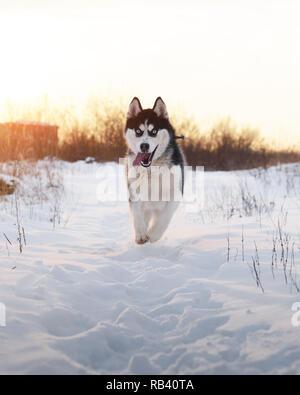 Siberian husky chien jouant sur le terrain d'hiver. Heureux chiot dans la neige moelleuse. La photographie animalière Banque D'Images