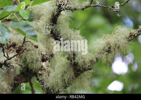 Close up image of Old Man's beard (lichens Usnea filipendula), croissant à l'extérieur sur un arbre dans un cadre naturel. Banque D'Images