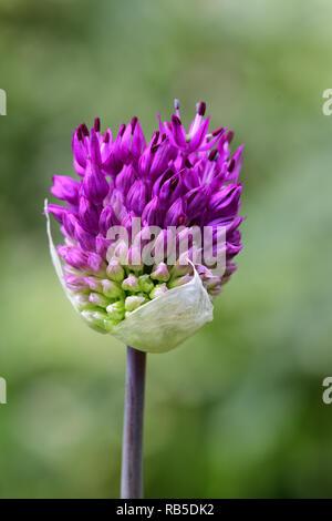 Plan macro sur une fleur d'allium purple Banque D'Images