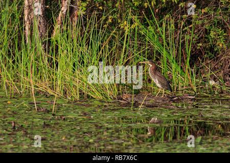 Le héron vert (Butorides virescens) Chasse en roseaux le long d'une rive de l'étang Banque D'Images