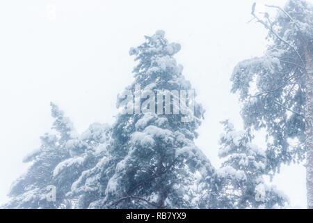 Forêt après une importante chute de neige Banque D'Images