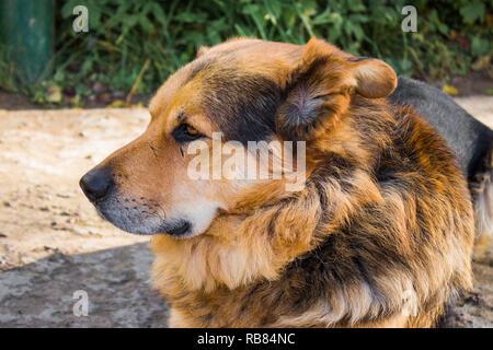 Sheepdog close-up sur le terrain