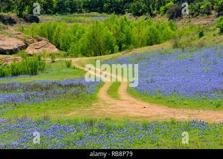 La floraison bluebonnets et Park Road, Turquie Loisirs inférieure du Colorado Bend Autorité, Marble Falls, Texas, États-Unis Banque D'Images