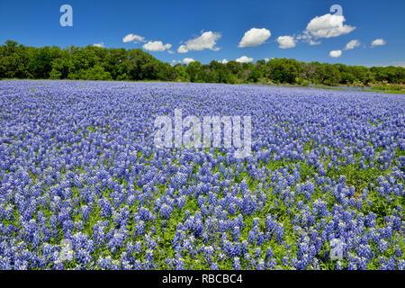 La floraison bluebonnets, plier la Turquie Loisirs inférieure du Colorado Autorité, Marble Falls, Texas, États-Unis Banque D'Images