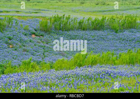 Texas bluebonnets près du lac Travis, plier la Turquie Loisirs inférieure du Colorado Autorité, Marble Falls, Texas, États-Unis Banque D'Images
