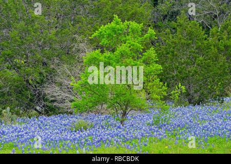 Texas bluebonnets et arbre de printemps, plier la Turquie Loisirs inférieure du Colorado Autorité, Marble Falls, Texas, États-Unis Banque D'Images