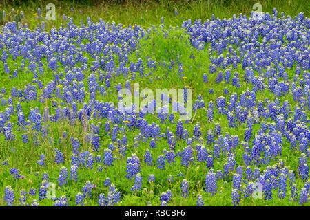 Texas bluebonnets et printemps arbre mesquite, plier la Turquie Loisirs inférieure du Colorado Autorité, Marble Falls, Texas, États-Unis Banque D'Images