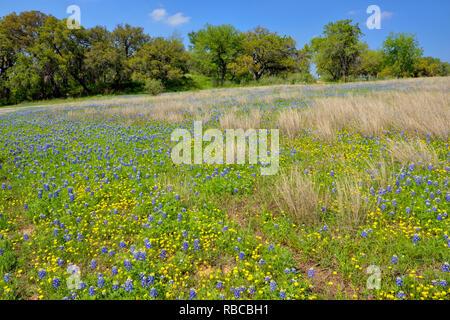 Bluebonnets dans un champ avec l'herbe morte, plier la Turquie Loisirs inférieure du Colorado Autorité, Marble Falls, Texas, États-Unis Banque D'Images