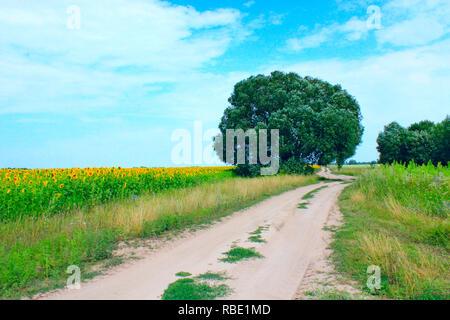 Pays route de sable avec champ de tournesols et d'herbe verte le long des routes. Petit pays moyen en été. Lonely tree croissant sur la route de country road Banque D'Images