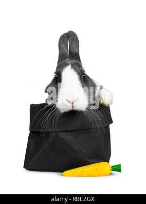 Gris blanc avec mignon lapin européen, Stting dans un papier noir avec un faux carotte. Pattes sur le bord. En regardant vers l'avant de l'appareil photo. Isolé sur whi Banque D'Images