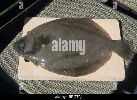 Brill, Scophthalmus rhombus, un poisson plat sur une planche à découper pour la cuisson, pêché dans le fjord d'Oslo, Norvège Banque D'Images
