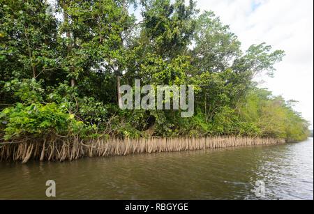 Les racines de mangrove exposés le long de la rivière Daintree, parc national de Daintree, Wet Tropics, Far North Queensland, Queensland, Australie, FNQ Banque D'Images