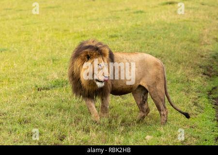 L'African Lion (Panthera leo) mâle à crinière noire dans la savane dans le cratère du Ngorongoro, en Tanzanie Banque D'Images