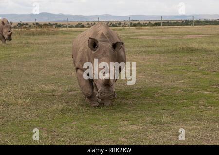 Le rhinocéros blanc du nord (Ceratotherium simum cottoni) Femmes marchant dans l'enceinte des espèces menacées, Ol Pejeta Conservancy, au Kenya. L'un des g