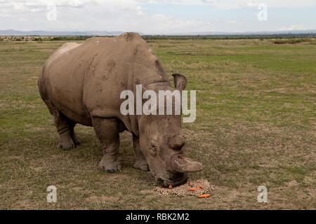 Le rhinocéros blanc du nord (Ceratotherium simum cottoni) femelle se nourrissant dans les espèces menacées d'Ol Pejeta Conservancy, boîtier, au Kenya. L'un des g