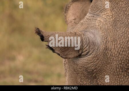 Le rhinocéros blanc du nord (Ceratotherium simum cottoni) oreille d'une femme dans l'enceinte des espèces menacées, Ol Pejeta Conservancy, au Kenya. L'un des
