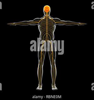Illustration du système nerveux humain Banque D'Images