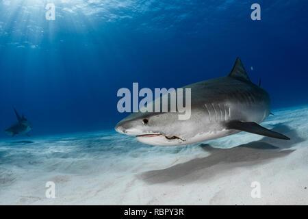 Le requin tigre (Galeocerdo cuvier) sur fond de sable Banque D'Images