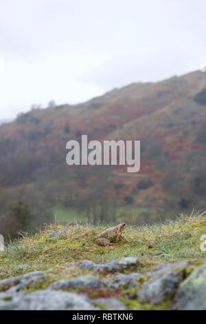 Petit crapaud ou grenouille en herbe humide sur le haut d'un rocher, avec une vallée montagneuse à l'arrière-plan Banque D'Images