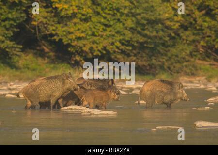 Le sanglier (Sus scrofa) dans la rivière San. Bieszczady. Pologne