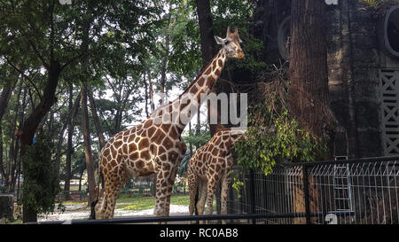 Deux girafes au zoo en Asie sont appréciant le déjeuner Banque D'Images
