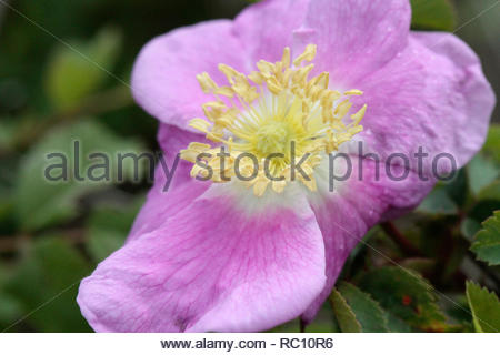 Sweet Briar Rose (Rosa rubiginosa), William L. FInley National Wildlife Refuge, Oregon, USA Banque D'Images