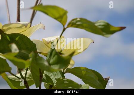 Fleurs de cornouiller blanc jusqu'à proximité du soleil sur une journée brillante. Banque D'Images