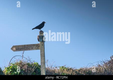 Une Corneille noire Corvus corone perché sur un panneau en bois près de la côte sud-ouest sur chemin Point West Pentire à Cornwall. Banque D'Images