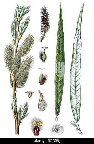 L'Osier commun ou l'osier (Salix viminalis), plante médicinale, plante utile, chromolithographie, vers 1790 Banque D'Images