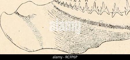 . Die stämme der wirbeltiere. L'évolution, la paléontologie, les Vertébrés. . Veuillez noter que ces images sont extraites de la page numérisée des images qui peuvent avoir été retouchées numériquement pour plus de lisibilité - coloration et l'aspect de ces illustrations ne peut pas parfaitement ressembler à l'œuvre originale.. Othenio Abel, 1875-1946. Berlin W. de Gruyter
