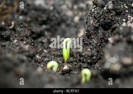 Les premières pousses vertes du semis des graines dans le sol au début du printemps Banque D'Images