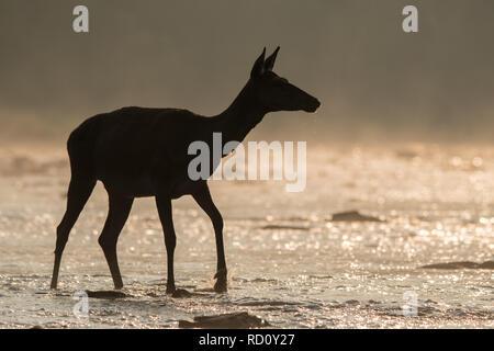 Red Deer (Cervus elaphus). Hind rouge dans la rivière. Bieszczady. Pologne Banque D'Images