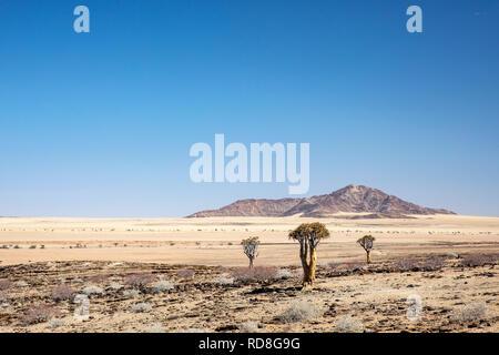 Quiver Tree ou Kokerboom (Aloe dichotoma) dans le désert du Namib près du Canyon de Kuiseb, Namibie, Afrique
