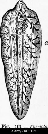 """. Zoologie: pour les étudiants et les lecteurs en général . Zoologie. Habitudes alimentaires DE FLUKE.VERS. 151. se produisant dans le foie d'un seul mouton. En ce moment, il passe dans l'intestin, et de là, s'effectue avec l'excre- ment. Les oeufs ou les flets dans de nombreux cas, déposer dans des piscines, Fossés, étangs ou le ici;- cili young (comme Fig. 99) est libéré, et bientôt l'cilite sont absorbés, quand il devient inerte, et probablement peu après, entre dans le corps d'un escargot (planorbes, etc.), où il se transforme en un grand sac, et le développe- coopératives nouvelles larves dans son intérieur. Ce sac- comme larve est appelée une """" infirmière,"""